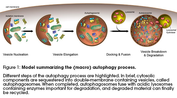 model summarizing the (macro) autophagy process