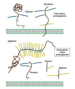Proteoglycans consist of a protein core and one or more covalently attached glycosaminoglycan chains