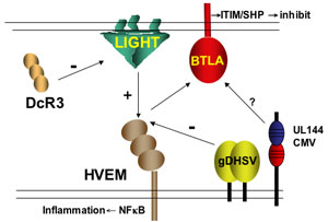 the LIGHT-HVEM-BTLA system