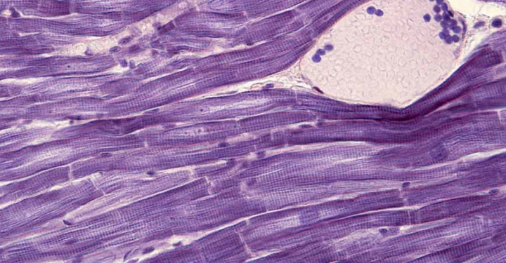 striated muscle fibers